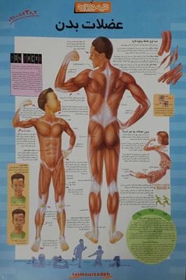پوستر-عضلات-بدن