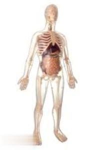 Visible Male Anatomy MK002