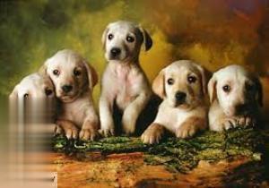 Labrador Retrievers 14802