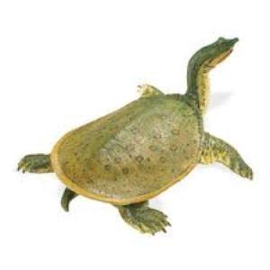 Soft Shell Turtle 160605