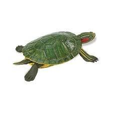 Red Eared Slider Turtle 269529